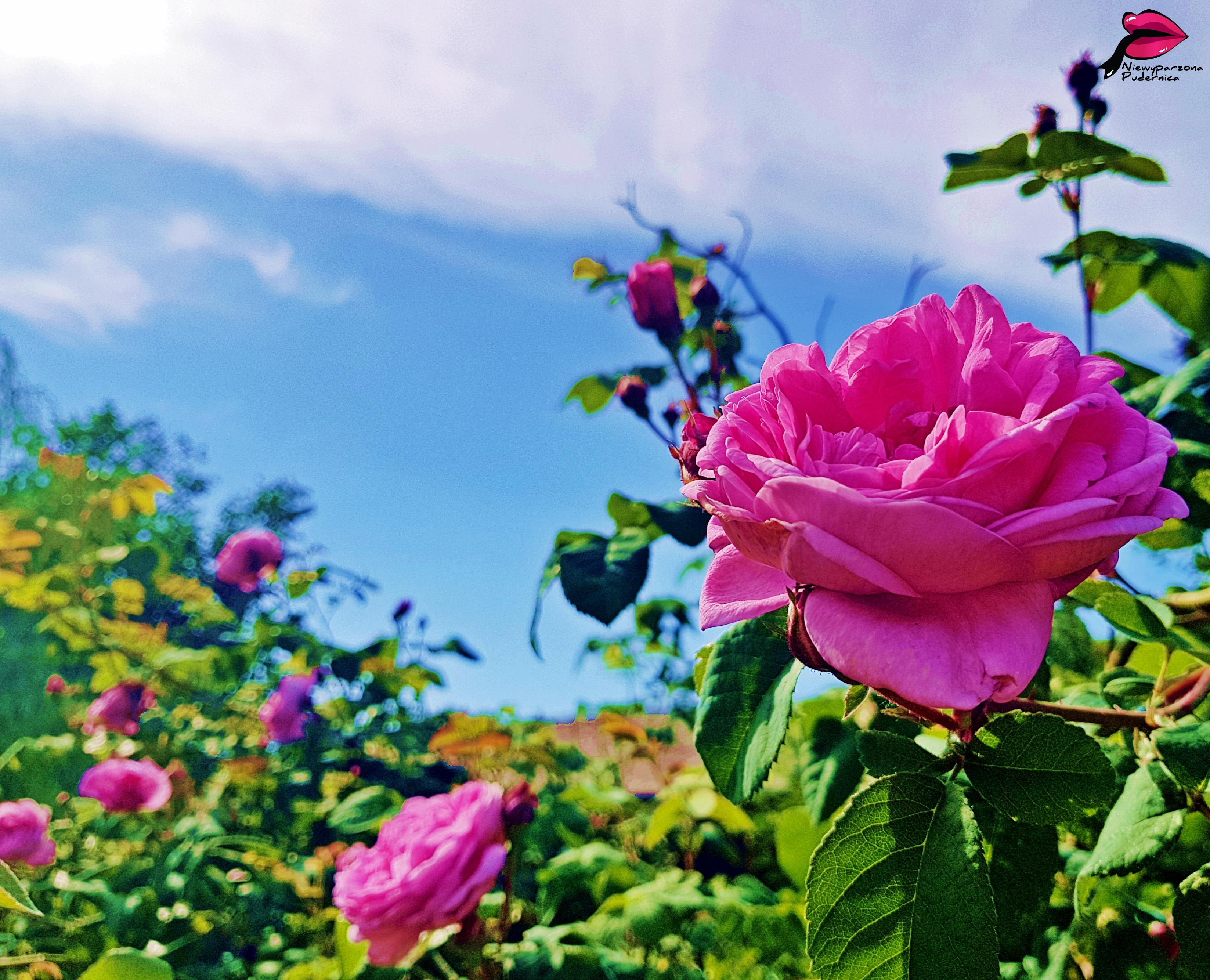 róża, o czym pisać bloga